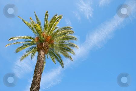 Sunlit Palm Tree stock photo, Sunlit palm tree with blue sky background. by Denis Radovanovic