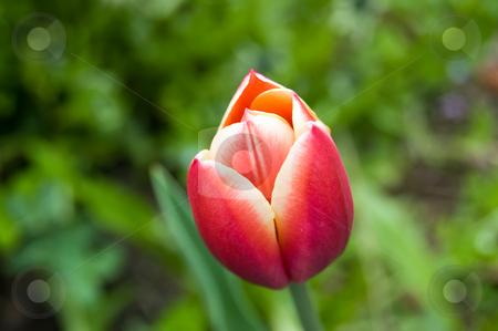 Orange pink tulip stock photo, Pink orange tulip close-up in a garden by Roberto Marinello