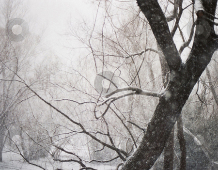 Freezing Trees stock photo, Snow falling on trees in New Zealand by Stephen Kerin