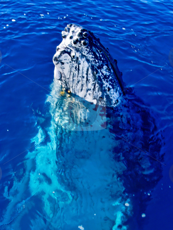 Majestic Humpback Whale having a look around stock photo, Majestic Humpback Whale up close and personal in australia by Phillip Dyhr Hobbs
