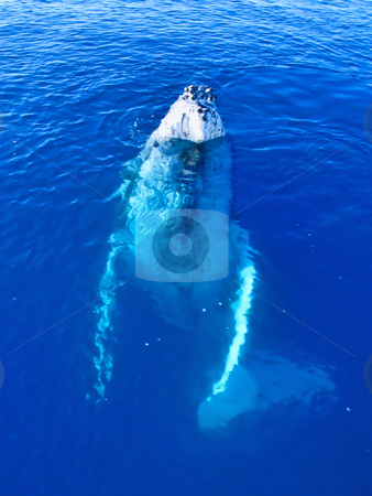 Majestic Humpback Whale up close and personal stock photo, Majestic Humpback Whale up close and personal in australia by Phillip Dyhr Hobbs
