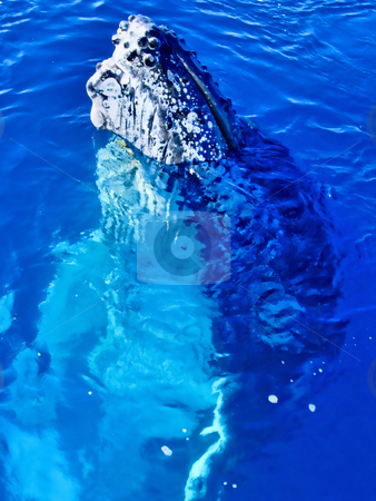 Majestic Humpback Whale up close stock photo, Majestic Humpback Whale up close and personal in australia by Phillip Dyhr Hobbs
