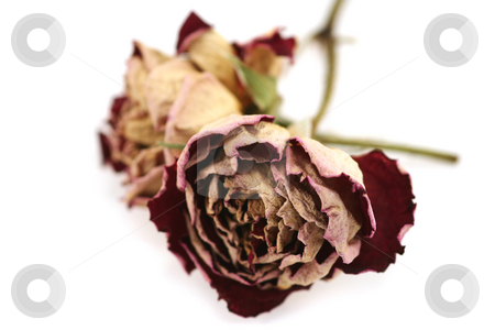 Last Years Love stock photo, Two dried/preserved red roses on a white background - last years love perhaps? by Helen Shorey