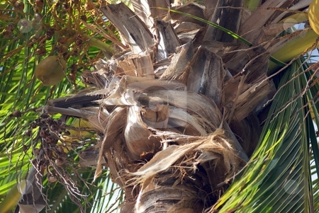 Ragged Texture stock photo, Closeup on a coconut palm. by Charles Jetzer