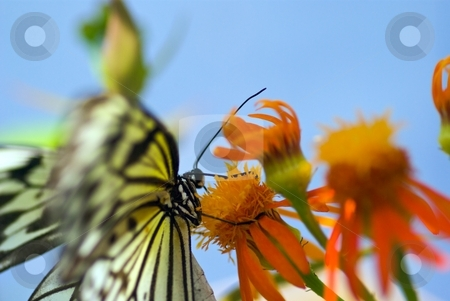Butterfly and Bloom on Blue stock photo, Butterfly sucking nectar from an orange flower by Charles Jetzer
