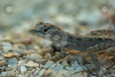 Baby Lizard stock photo, Baby Lizard by Charles Jetzer