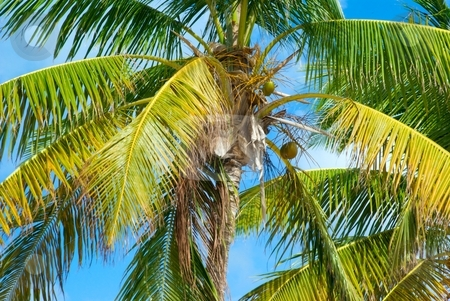 Coconut Palm in the Wind stock photo, Coconut Palm in the Wind by Charles Jetzer