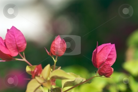 Tropical PInk Blooms stock photo, Closeup of tropical Pink Blooms by Charles Jetzer