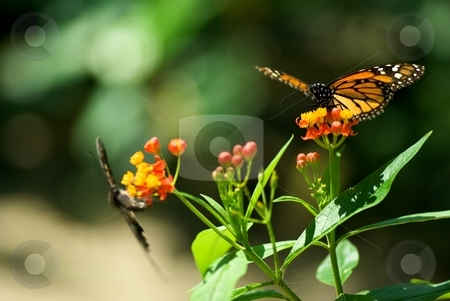 Nectar Collectors stock photo, A pair of butterflies collecting nectar by Charles Jetzer