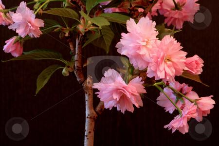 Japanese Cherry (Prunus serrulata 'Kanzan') stock photo, Japanese Cherry in April;photographed near Frankfurt Main, Germany by Manuela Schueler