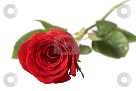 A gift stock photo, A red rose on a white background by Steve Mcsweeny