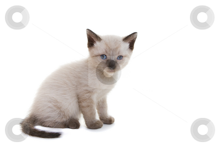 Siamese kitten stock photo, A lilac point Siamese kitten on white background by Steve Mcsweeny