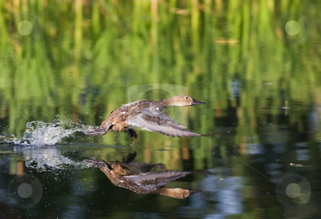 Taking flight stock photo, A duck running on top of the water with reflection by Steve Mcsweeny