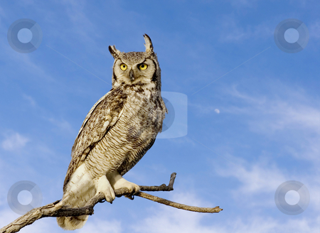 Great horned owl stock photo, Great horned owl with sky background by Steve Mcsweeny