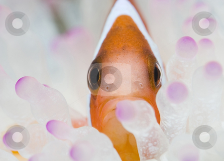 Clowns face stock photo, Clown fish at home in anemone. by Steve Mcsweeny