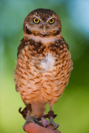 Burrowing owl  stock photo, A burrowing owl portrait with focus on the face(shallow depth of field) by Steve Mcsweeny