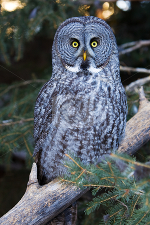 Great grey stock photo, The great grey owl perched in the forest by Steve Mcsweeny