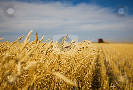 Harvest work stock photo, A combine harvester working in a wheat field,(focus on front row of wheat) by Steve Mcsweeny