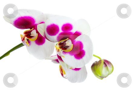 Orchid stock photo, An exotic orchid on a white background by Steve Mcsweeny