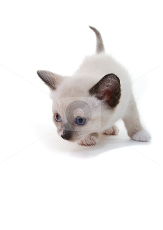Lilac point Siamese kitten stock photo, A lilac point Siamese kitten on white background by Steve Mcsweeny