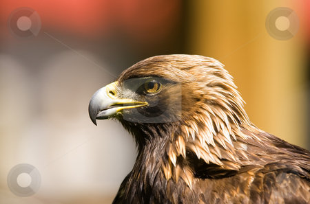 Golden eagle stock photo, A side profile of a golden eagle with a colorfull background(shallow dof) by Steve Mcsweeny
