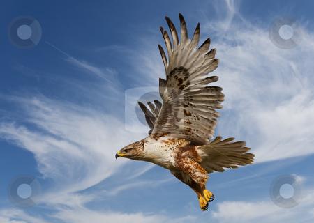 Ferruginous Hawk stock photo, Large Ferruginous Hawk in flight with blue sky background by Steve Mcsweeny