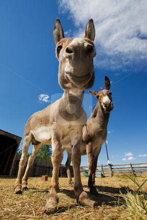 Donkeys stock photo, Two farm donkeys in a coral one with neglected hooves by Steve Mcsweeny