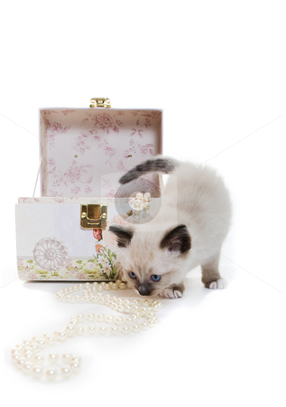 Kitten with jewelry stock photo, A Snowshoe Lynx-Point siamese kitten with pearls by Steve Mcsweeny