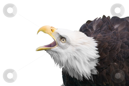 Bald eagle calling stock photo, Isolated bald eagle by Steve Mcsweeny