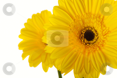 Gerber daisy stock photo, A macro of a yellow gerber daisy over a white background by Steve Mcsweeny