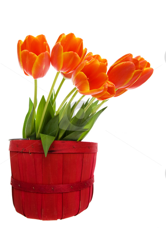 Orange tulips stock photo, A bunch tulips in a red wooden bucket by Steve Mcsweeny