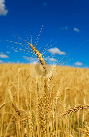 Golden wheat stock photo, Wheat in a field with blue sky, shallow depth of field. by Steve Mcsweeny
