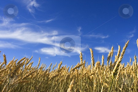 Summer wheat stock photo, Wheat field with blue sky by Steve Mcsweeny