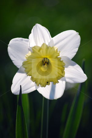 Narcissuses stock photo, Picture of white narcissuses by Sarka