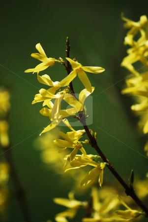 Laburnum stock photo, Detail of a laburnum branch in the spring by Sarka