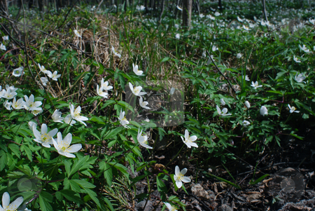 Wood anemone stock photo, A lot of wood anemones by Sarka