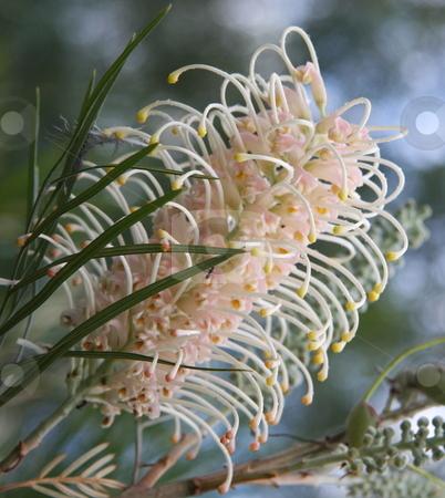 Australian White Grevillea stock photo, The striking and very beautiful Australian native wildflower - white grevillea by Adam Goss