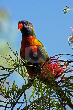 Wild Lorikeet stock photo, A wild Australian Rainbow Lorikeet perched upon a grevillea shrub. by Adam Goss