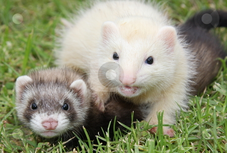 Ferret Frivolities stock photo, A pair of six week old ferret kits playing in the grass. by Adam Goss