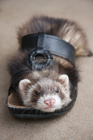 Ferret Footwear stock photo, A six week old chocolate sable ferret kit deciding to take a rest inside his owners sandal. by Adam Goss