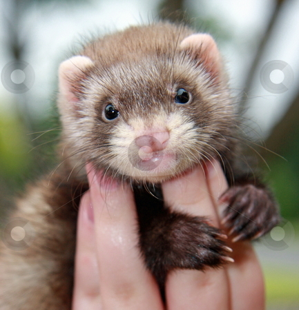 Ferret Fingers stock photo, A six week old chocolate sable ferret kit is held up in the hand of its owner. by Adam Goss