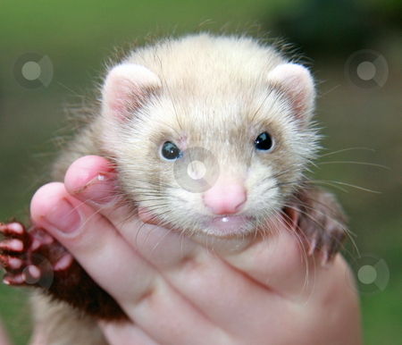 Ferret Face stock photo, A six week old siamese sable (aka butterscotch) ferret kit propped up in the hands of its owner. by Adam Goss