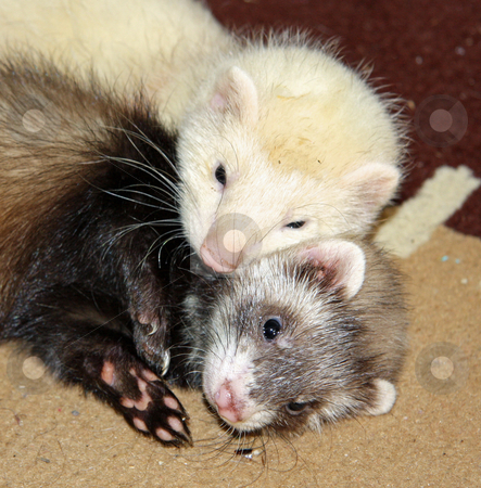 Ferret Affection stock photo, A pair of six week old ferret kits cuddle up together upon a rug. by Adam Goss