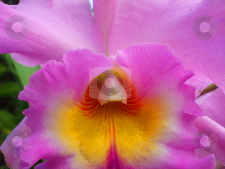 Pink Orchid Flower stock photo,  by Michael Felix