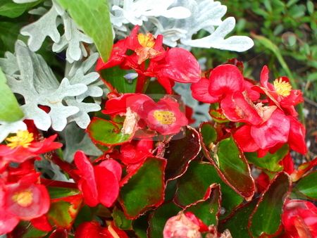 Red Begonia Flowers stock photo,  by Michael Felix