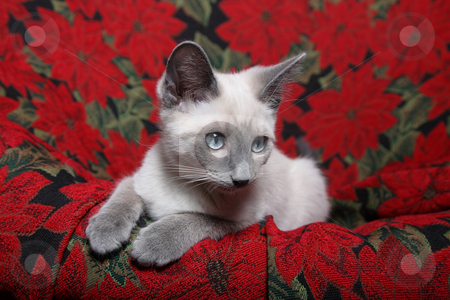 Christmas Siamese stock photo, Small, lilac point siamese kitten on red poinsettia tapestry chair. by Brenda Carson