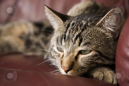 Lazy Cat stock photo, A lazy, tabby cat half asleep on a burgundy leather chair.  Shallow DOF. by Brenda Carson