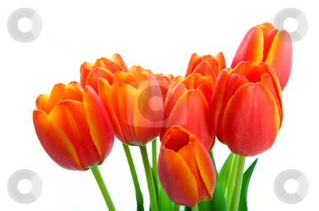 Spring Tulip Bouquet stock photo, A bouquet of fresh orange & yellow spring tulips.  Shot on white background. by Brenda Carson