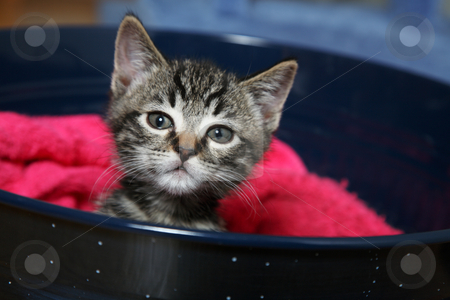 Curiosity stock photo, A curious little tabby kitten wondering what I have. by Brenda Carson
