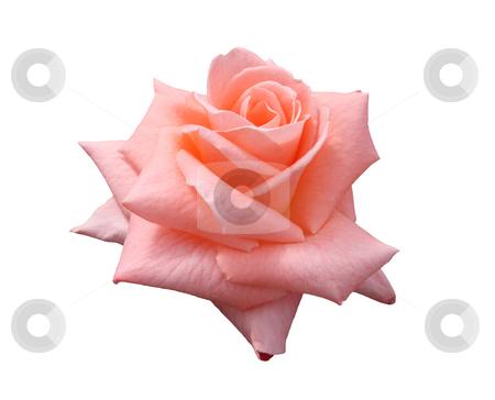 Lady Di Grandiflora Rose stock photo, Beautiful pink, isolated, Lady Di grandiflora hybrid rose blossom. by Brenda Carson